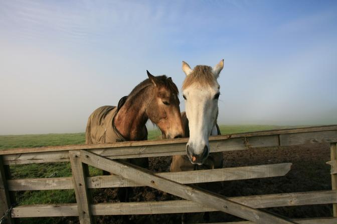 Horse love in the mist, Okura
