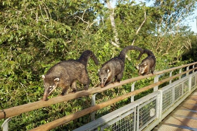 Coati mundi posse