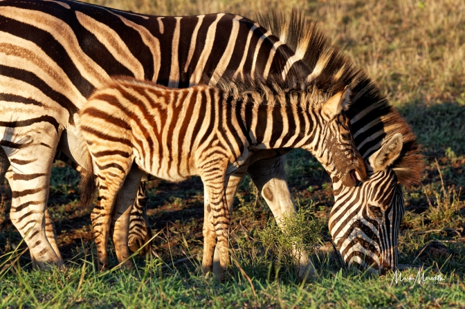 Zebra mother and foal in  Kruger National Park