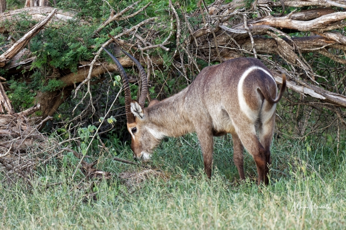Waterbuck in Kruger National Park