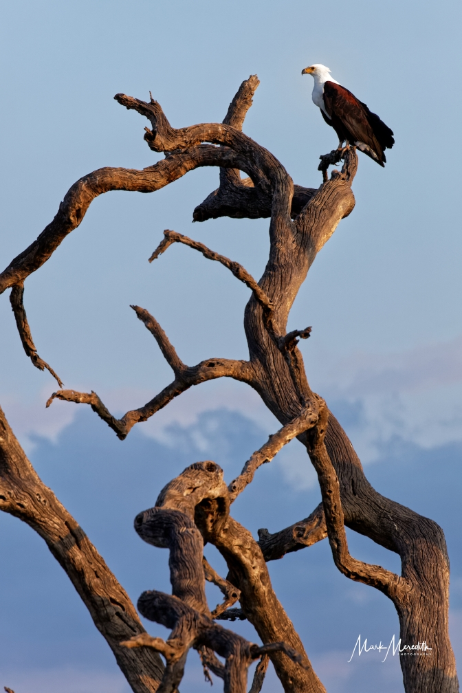 Fish eagle in skeleton tree, name given for trees killed by elephants