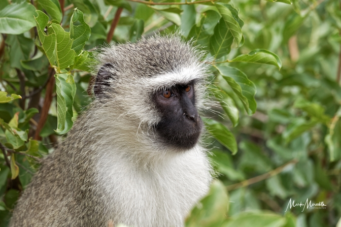 Vervet monkey in Kruger National Park
