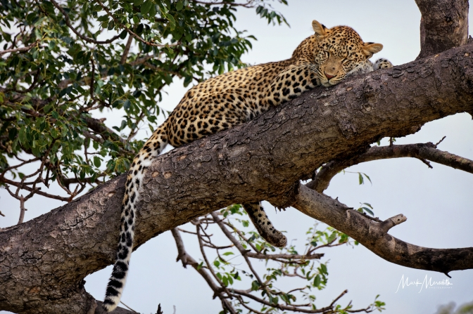 Thrilled to see and capture this leopard, my favourite of all the animals