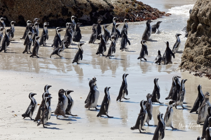 African, or Jackass, penguins at Boulders Beach near Simonstown